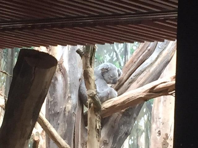 Eröffnung des Koala-Hauses im Zoo | Foto: Katharina Hitschfeld