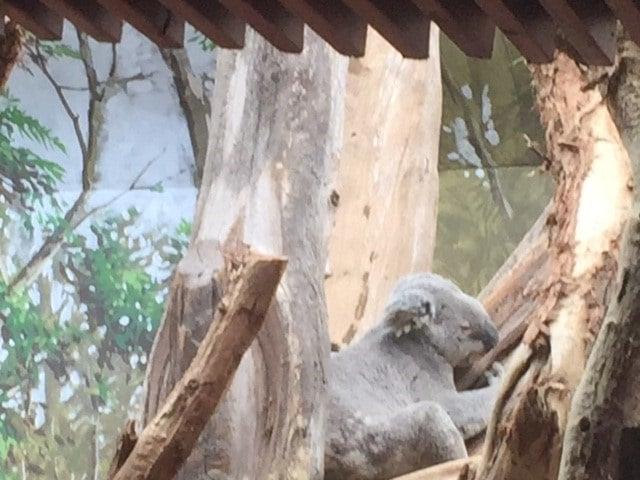Koala Oobi Oobi